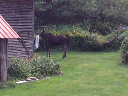 moose stuck on clothesline, barn